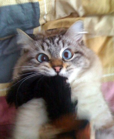Les boules de poils chez le chat : risques et solutions