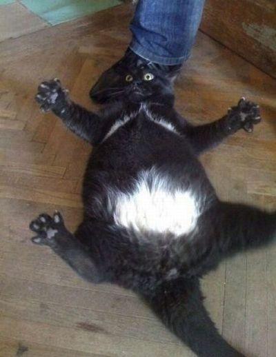 10 chats qui en ont trop pris cat apart - Images de chats rigolos ...