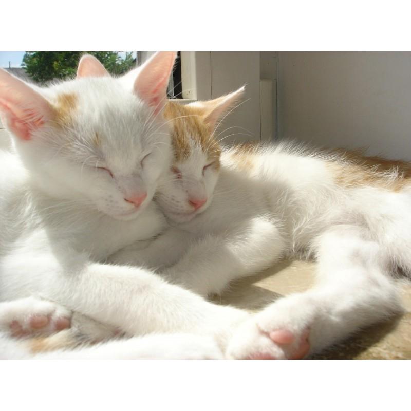 Adopter un deuxième chat : bonne ou mauvaise idée ?
