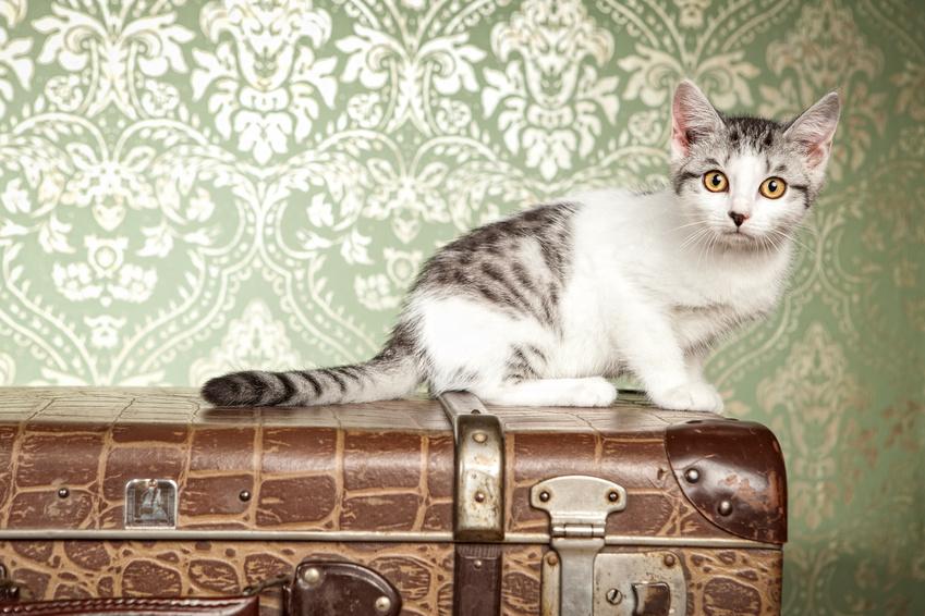 chat sur une valise